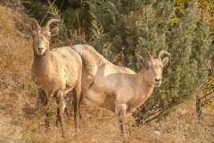 Female-Bighorn-Sheep
