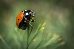 Lady-Bug-on-Dill-Stem-el