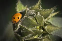 Ladybug-on-Sunflower-Bud