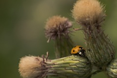 Ladybug-perched-on-prickly-ledge-2