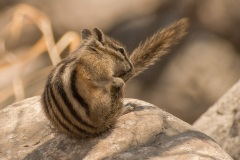 Least-Chipmunk-Washing-Its-Tail