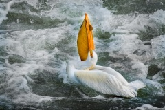 Proud-Pelican-Boldly-Showing-All
