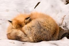 Sleeping-Red-Fox-LR