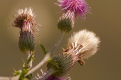 Wild-Thistles-on-the-Bank