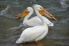 Pelican-Dance-1