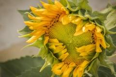 1_Unripe-Sunflower