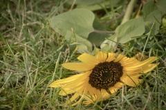 Fallen-Sunflower