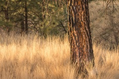 Red-trunk-in-a-golden-field