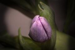 Tulip-Dancer