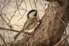 Chickadee-Tree-Climber