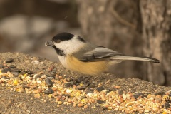Chickadee-with-seed-2