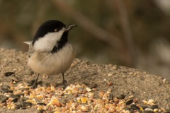 Chickadee-with-seed-5