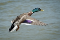 Duck-Flies-By-