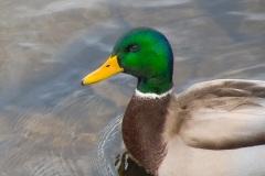 Duck-Head