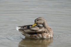 Juvenile-Duck-Grooming-2