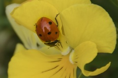 Ladybug-Towards-the-Heart-of-the-Flower