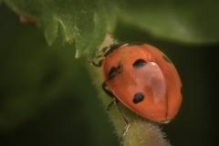 Ladybug-climbing-the-Stem