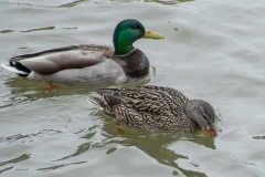 Mallard-Ducks-Just-Wait