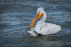 May-Pelican-Grooming