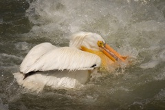 Pelicans-In-Rough-Water-Alone-2