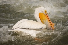Pelicans-In-Rough-Water-Alone