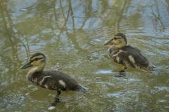 Two-Beautiful-Ducklings