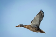 Female-Mallard-in-Flight
